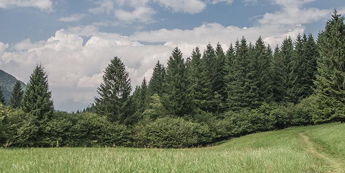 Larici di Valmorel, Belluno